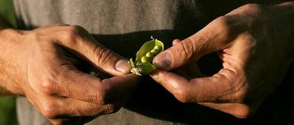 PURIS-Pea-Plant